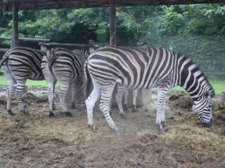 The herd of zebras was just one of the many types of Sub-Saharan species on display