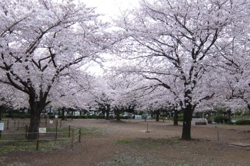 Cherry blossoms in bloom in Kiba Park