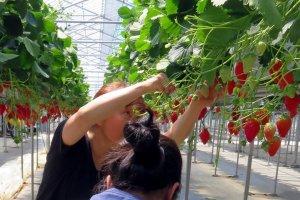 Strawberry picking near Mount Fuji