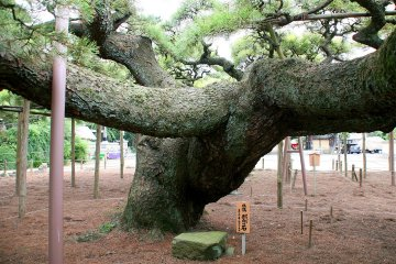 The impossibly huge branches of Yogo no Matsu at Zenyoji temple