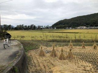 Les rizières déjà récoltées au bord de la piste cyclable