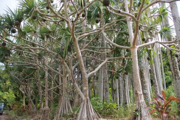 <p>The screw pines are beautifully pruned and hardly recognizable as the dense and unsightly overgrown form it is seen as everywhere else on Okinawa</p>