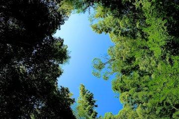 대나무 숲 위의 푸른 하늘