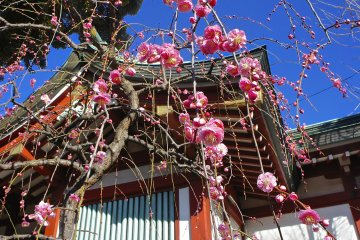 Kameido Tenjin Shrine Plum Festival