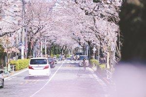 禿坂櫻花祭
