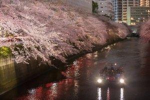 메구로 벚꽃