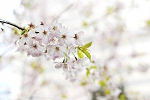 시나가와의 최고 벚꽃명소 8곳