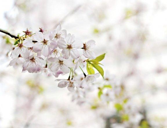 8 Tempat Sakura Terbaik Shinagawa