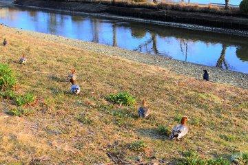 The lovely ducks