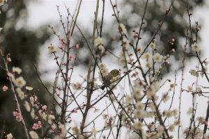 梅の花にとまるウグイス