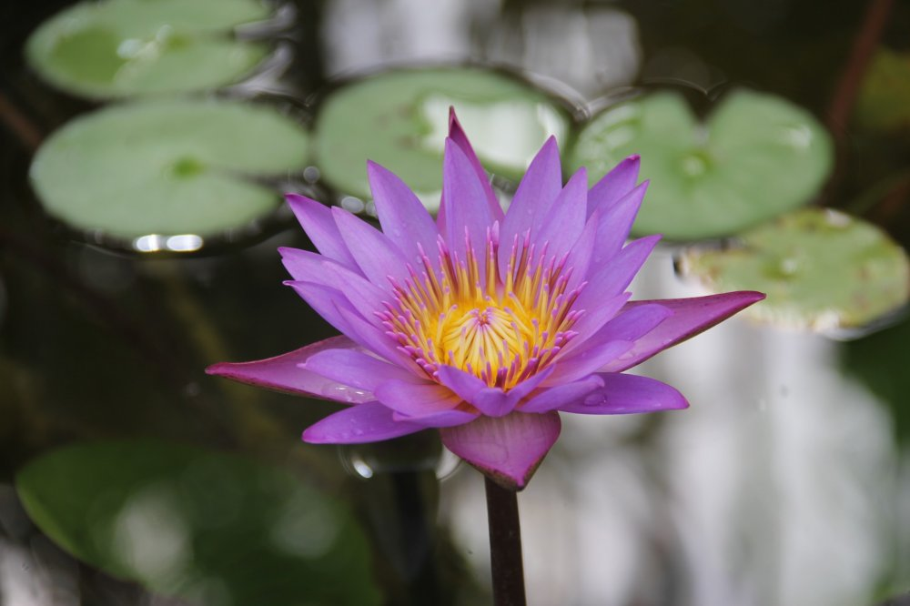 A purple flower blooms in the pond at Southeast Botanical Garden's Water Garden