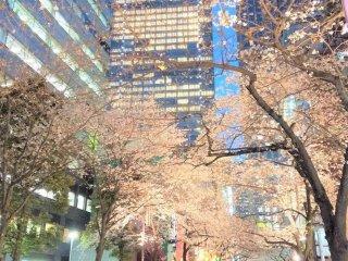 The beautiful Sakura Street