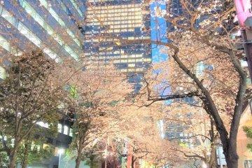 東京 さくら通り