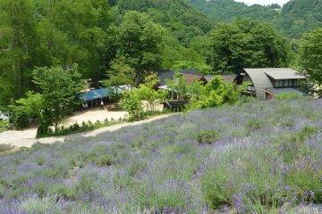 Lavender at Chamomile Village