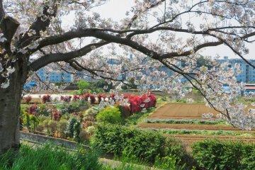 Beautiful views along the Tsurumi River