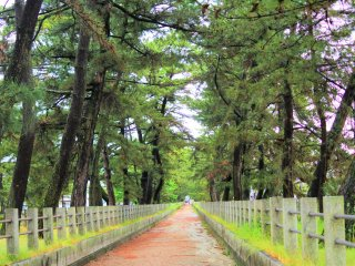 Pine trees along the approach to the temple