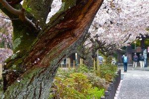 Flores de cerejeira no templo