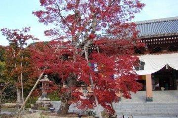 寺庙前的红叶格外显眼