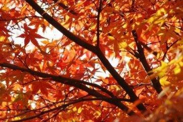 漫天红叶很是壮观