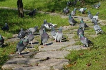肥肥的可爱的鸽子