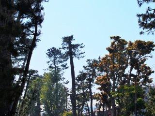 晴天の松並木