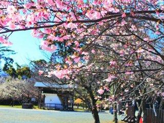 二の丸の河津桜
