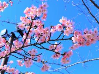 綺麗な河津桜