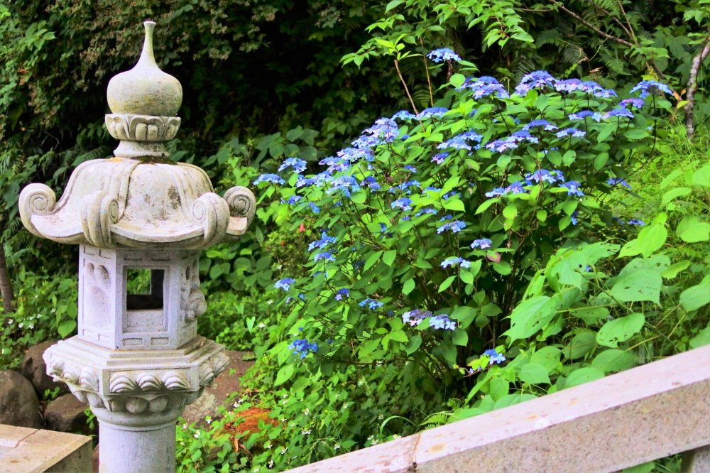境内に咲くガクアジサイ
