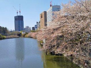 江戸城外堀跡の桜並木
