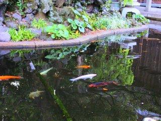 池の中を泳ぐ鯉