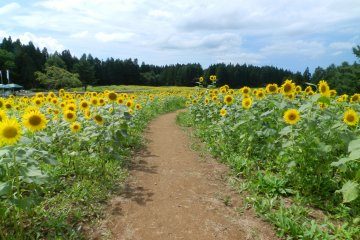 A path into the million sunflowers.