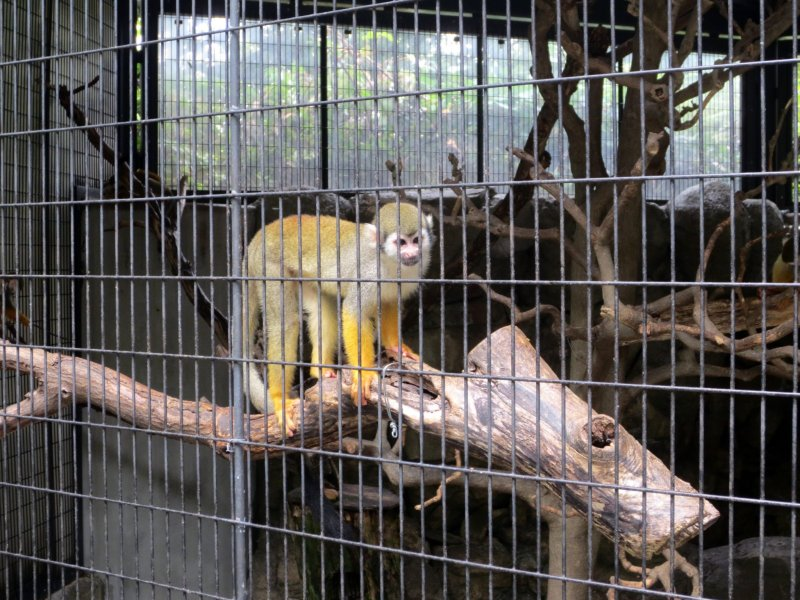 The common squirrel monkey is the first to greet you when you walk into the zoo