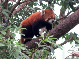The red panda is fun to watch as it climbs from branch to branch and repeats