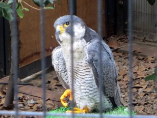 The peregrine falcon was a majestic sight to behold