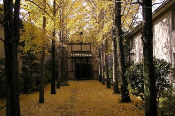 Gingko trees at Ivy Square in Kurashiki