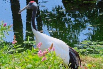 Female Red Crowned Crane Mucki, Akan International Crane Center
