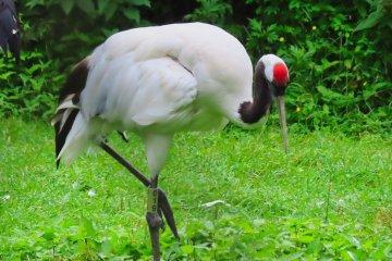 Red Crowned Crane, Kushiro Zoo
