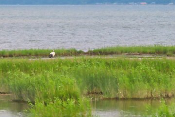 We spotted several cranes in the marsh on the way back to Kushiro