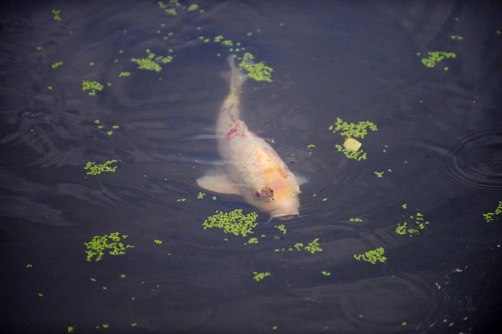 연못에 있는 코이