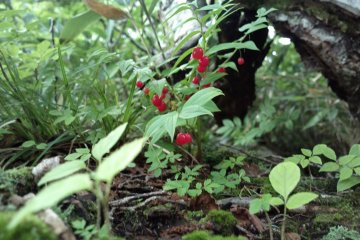 たけしまらん or Streptopus Amplexifolius a kind of edible berry