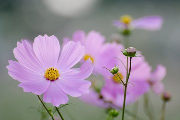 Cosmos Festival at Showa Kinen Park