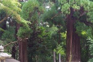 Huge trees with sacred shimenawa ropes