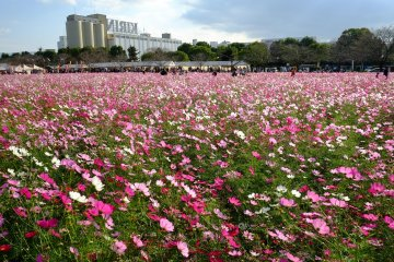One of Japan's most unique cosmos fields - by the Kirin beer factory in Fukuoka