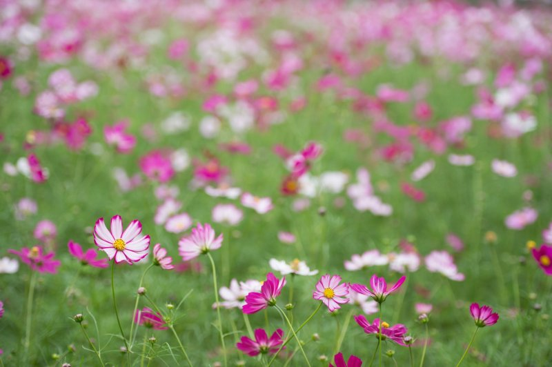 Cosmos - the cherry blossoms of autumn