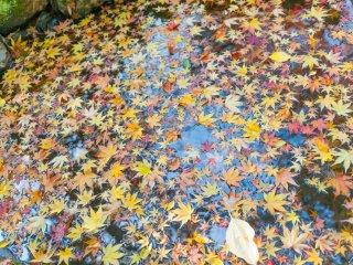 Поверхность лужи усыпана листьями клена