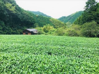 The view and scent of the tea plantation