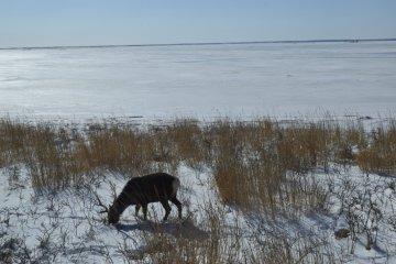 Deer roam freely in the area
