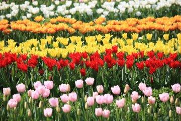 Rows of tulip varieties at Flower Park Kagoshima
