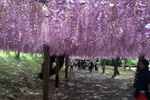 Kawachi Wisteria Garden in Fukuoka