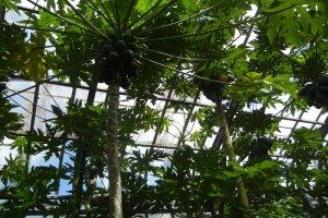 分園の果樹園にはバナナ以外にもパパイヤやグワバなども見られます。この写真パパイヤです。